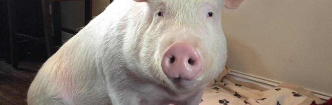 The Magic of Esther the Wonder Pig